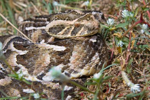 adder-in-kenya-000015896482_Small